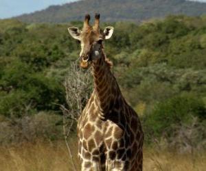 Puzle Krásné žirafa