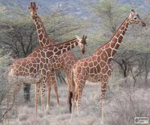 Puzle Krásné žirafy