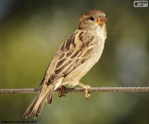 Puzle Krásné Sparrow