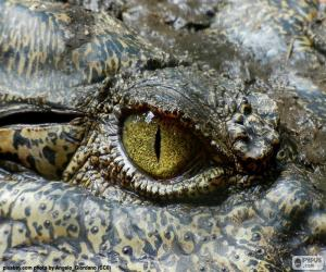 Puzle Krokodýl oko