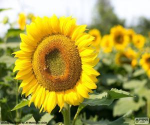 Puzle Květ slunečnice