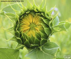 Puzle Květina na slunce