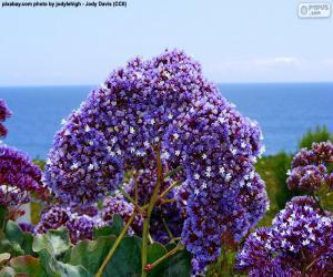 Puzle Květiny Limonium perezii