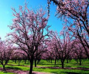 Puzle Kvetoucích mandloní stromy na jaře