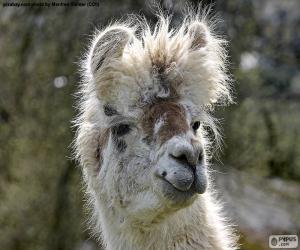 Puzle Lama krotká, vedoucí