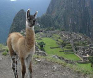 Puzle Lama, nejznámější zvíře starověké říše Inků