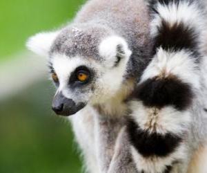 Puzle Lemur kata