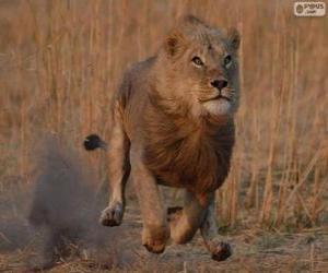 Puzle Lev vyhnal svou kořist