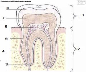 Puzle Lidský zub