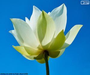 Puzle Lotosový květ