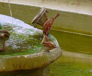 Puzle Malí ptáci stříkající ve fontáně