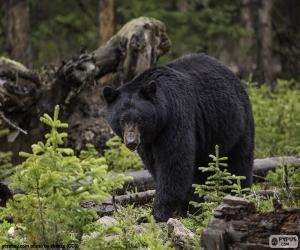 Puzle Medvěd baribal