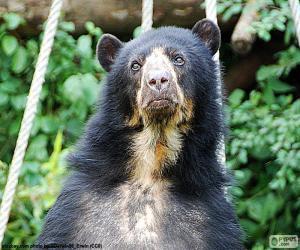Puzle Medvěd brýlatý