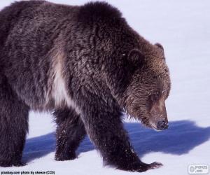 Puzle Medvěd grizzly