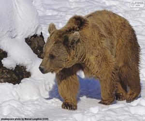 Puzle Medvěd hnědý na sněhu