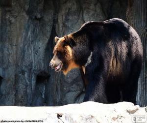 Puzle Medvěd ušatý
