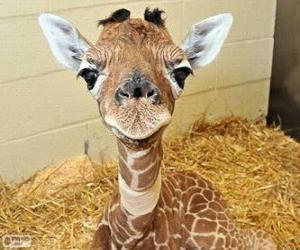 Puzle Mládě žirafy