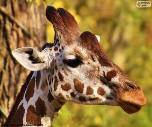 Puzle Mladá žirafa