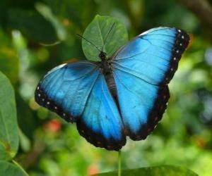 Puzle Modrý motýl