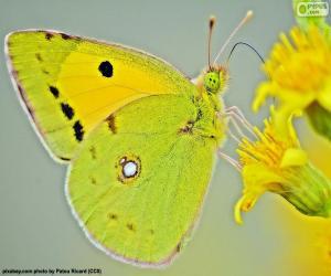 Puzle Motýl vápno