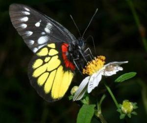 Puzle Motýl