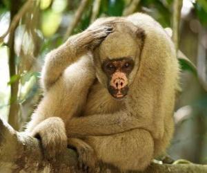 Puzle Muriquis, také známý jako chlupatý pavouk opice