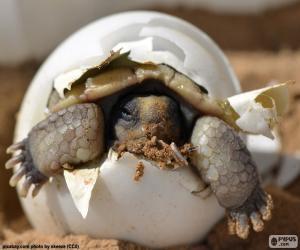 Puzle Narození želvy