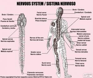 Puzle Nervová soustava