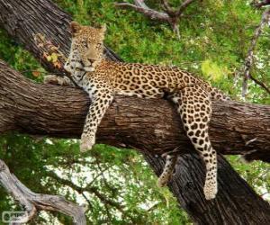 Puzle Odpočívající levhart