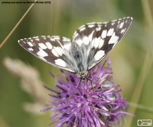 Puzle Okáč bojínkový motýl