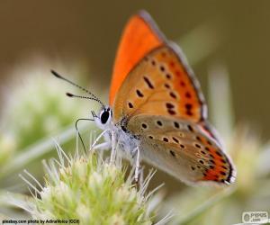 Puzle Oranžový motýl