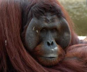 Puzle Orangutan bornejský