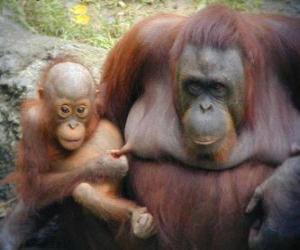 Puzle orangutan s dítětem