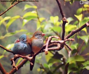 Puzle Pár ptáků