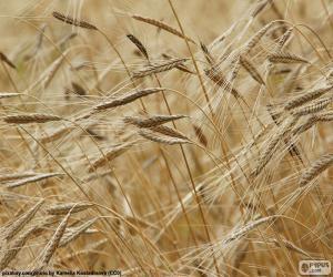 Puzle Pšenice