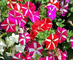 Puzle Petúnie květiny