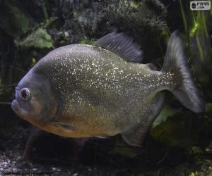 Puzle Piranha