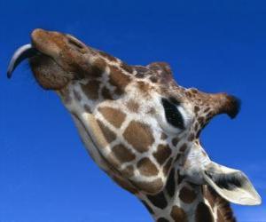 Puzle Portrét hlava krásné žirafy