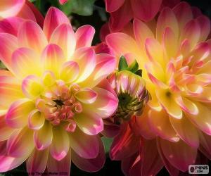 Puzle Růžové a žluté Dahlia