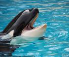 Orca s otevřenými ústy
