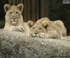 Lev mládě