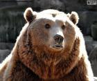 Medvěd obličej
