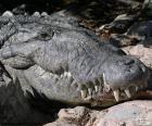 Krokodýlí hlavou