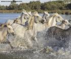 Stádo divokých koní přes vodu