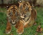 Mladí tygři