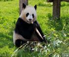 Panda, jíst