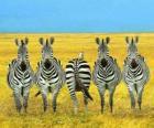 Pět zebry