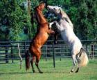 Dva vzpínajícího se koně