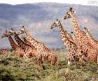 Velká skupina divokých žirafy v oblasti keřů