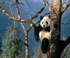 Panda na stromě